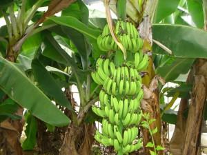 banana-300x225 dans informations générales
