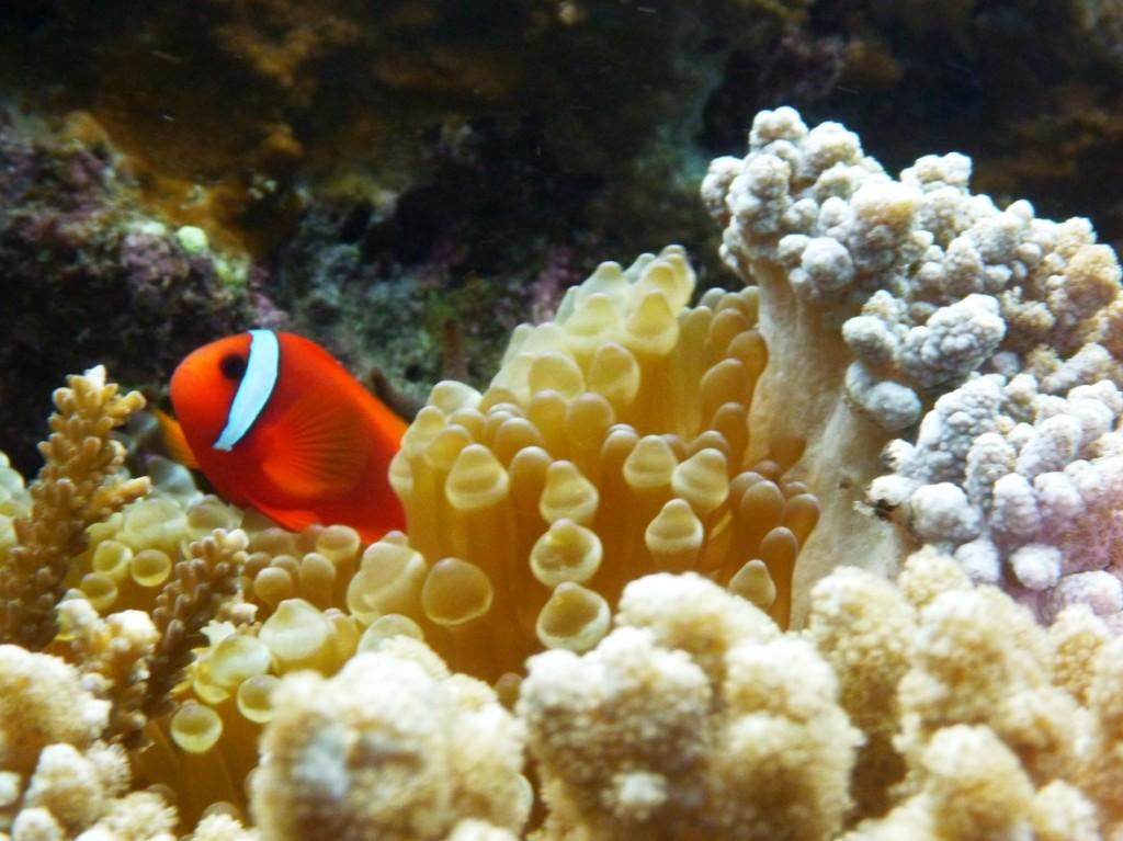 Les poissons-clowns  dans images clown-2