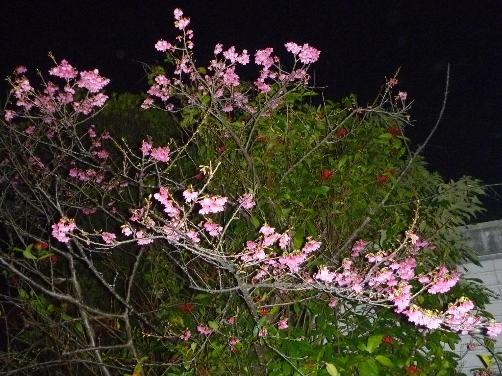 cerisiers 1