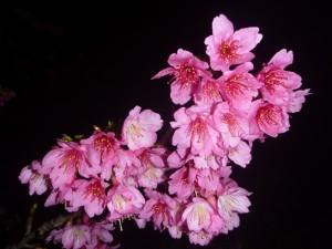 cerisiers 2