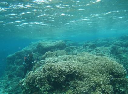 伊是名サンゴ